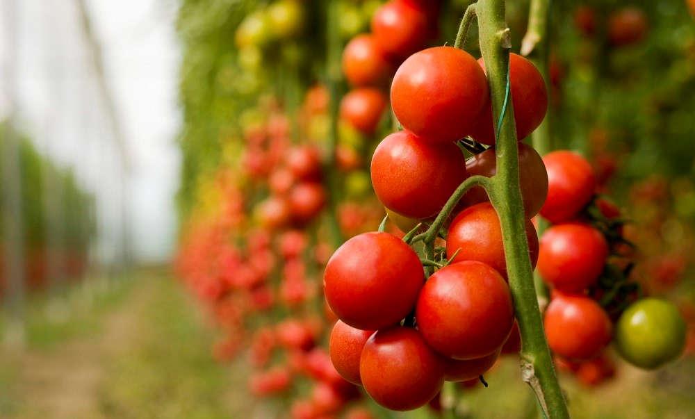 Campione omaggio semi di pomodori heinz concorsi a premi for Piantare pomodori